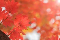 Кленовые листы, предпосылки осени абстрактные [мягкий фокус] Стоковое Изображение