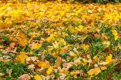 Кленовые листы упаденные желтым цветом Стоковая Фотография RF