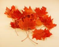 Кленовые листы - цвета Autum Стоковые Фотографии RF