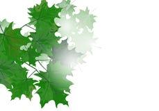 Кленовые листы Стоковая Фотография