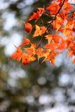 Кленовые листы стоковое изображение