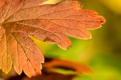 Кленовый лист близкий вверх в цветах падения стоковые изображения rf