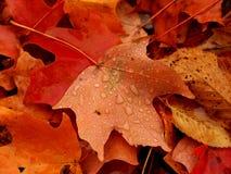 Кленовый лист в осени Стоковая Фотография RF