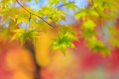 Кленовый лист в осени Стоковое Фото
