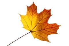 Кленовый лист в осени Стоковая Фотография