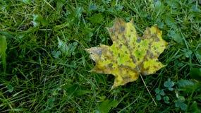 Кленовый лист запятнанный зеленым цветом Стоковая Фотография
