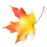 Кленовый лист изолированный на белизне. Покрашенное падение Стоковые Изображения
