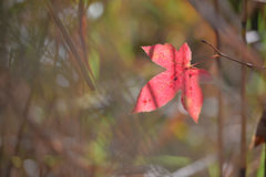 Кленовый лист красного цвета во время осени на юге  Японии Стоковые Фотографии RF