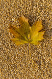 Кленовый лист на зерне Стоковые Фотографии RF