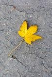 Кленовый лист на дороге Стоковая Фотография RF