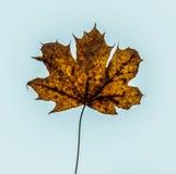 Кленовый лист осени в голубом небе стоковое изображение rf