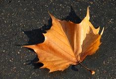 Кленовый лист падения Стоковая Фотография RF