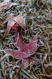 Кленовый лист покрытый с ледяным кристаллом Стоковые Изображения