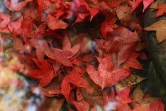 Кленовый лист подводный Стоковая Фотография