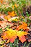 Кленовый лист упаденный осенью Стоковые Изображения RF
