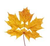 Кленовый лист хеллоуина Стоковое фото RF