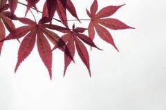 Кленовый лист Стоковое Изображение