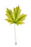 Кленовый лист  Стоковые Изображения RF