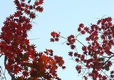 Кленовый лист Стоковые Фото