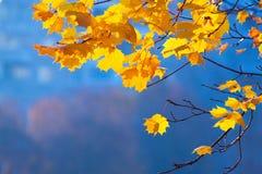 Клен ветви осени Стоковое Изображение RF