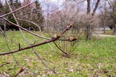 Клен в цветени весной стоковые изображения rf