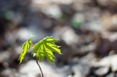 клен листьев малый Стоковые Изображения