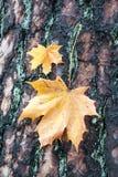 Клен листьев осени на дереве Стоковые Фотографии RF