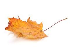 клен листьев осени цветастый Стоковое фото RF
