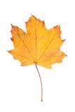 клен листьев осени цветастый Стоковая Фотография RF