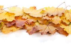 клен листьев осени цветастый Стоковые Изображения RF