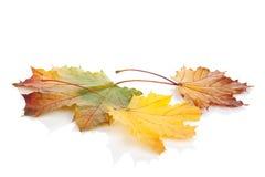 клен листьев осени цветастый Стоковое Изображение RF