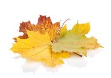 клен листьев осени цветастый Стоковое Изображение