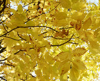 клен листьев осени цветастый Стоковые Изображения