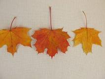 клен листьев осени Стоковые Фотографии RF