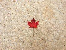 клен листьев сиротливый Стоковая Фотография