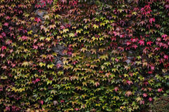 Клен на стене Стоковое фото RF