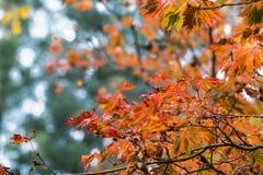 Клен осени падения японский разветвляет, листья зеленого цвета Красный, оранжевый желтый цвет Стоковые Фотографии RF