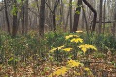 Клен ростка в лесе Стоковые Фотографии RF