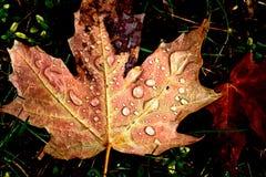 Клен сахара листьев осени Стоковые Изображения RF