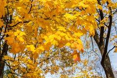 Клен с золотой листвой Стоковые Изображения RF