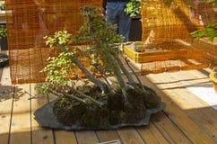 Клен трёхзубца - бонзай в стиле & x22; Grove& x22; Стоковая Фотография