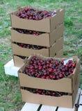Клети вполне и корзина больших и сочных зрелых красных вишен на s Стоковое Изображение