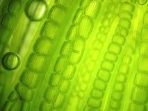Клетка водорослей микроорганизма сигнала Стоковое Изображение RF
