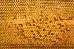 Клетки выводка пчелы меда Стоковое Изображение