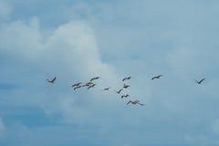 Клин пеликанов в taxas Стоковое фото RF