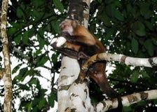 Клин-покрытый capuchin Стоковое фото RF