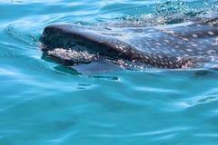 клиппирование 3d над путем представляет кита акулы тени белым Стоковое Изображение