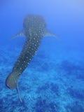 клиппирование 3d над путем представляет кита акулы тени белым Стоковые Фотографии RF