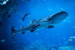 клиппирование 3d над путем представляет кита акулы тени белым Стоковая Фотография RF