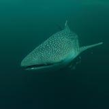 клиппирование 3d над путем представляет кита акулы тени белым Стоковое Фото